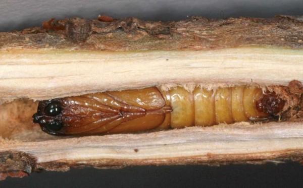 Grupo fomesa lepidopteros - Taladro de la madera ...